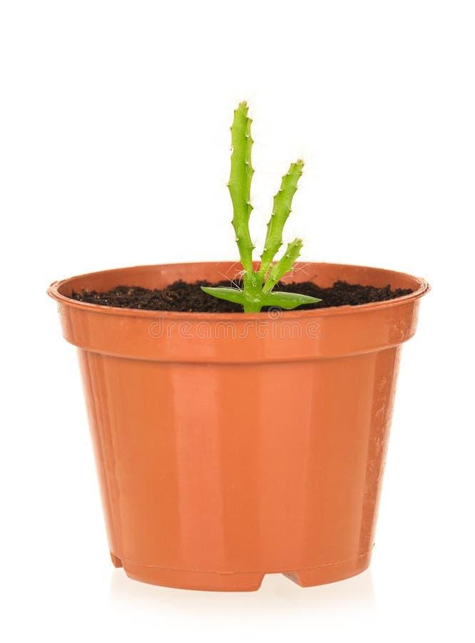 Planta joven del cactus imagen de archivo