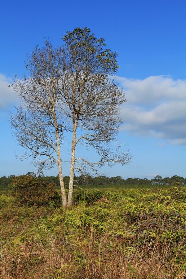 Planta Leafless com prado verde fotografia de stock