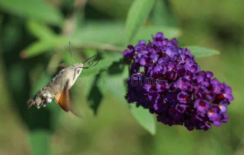 Planta lil?s fotos de stock