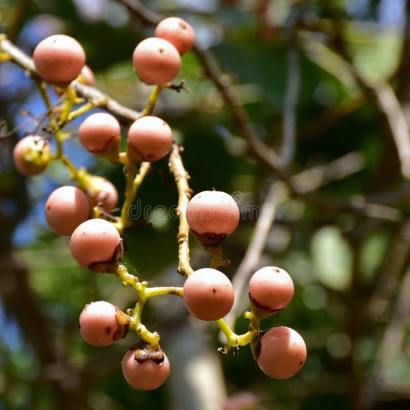 Planta médica da cereja pegajoso foto de stock