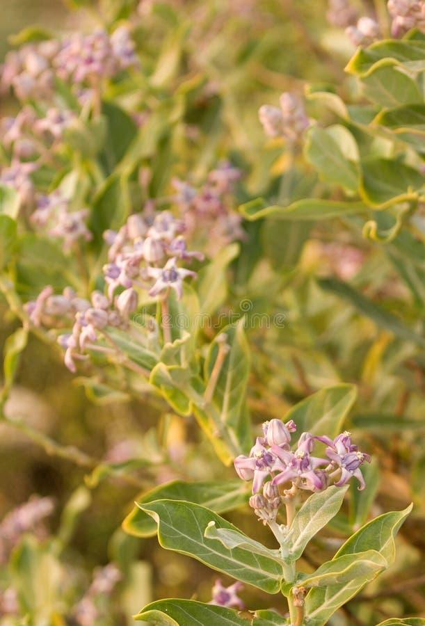 Planta medicinal Calotropis Gigantea de Ayurveda fotografía de archivo