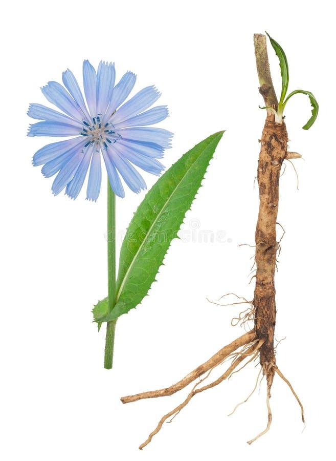 Planta medicinal: Chicória imagem de stock