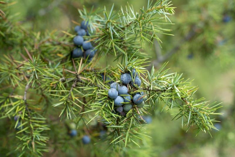 Planta medicinal - Juniperus communis fotos de archivo