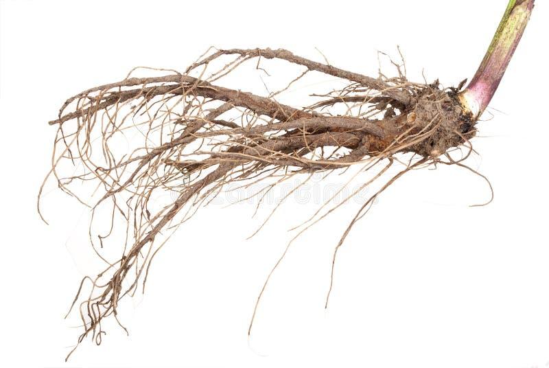 Planta medicinal. La raíz del helenio foto de archivo libre de regalías