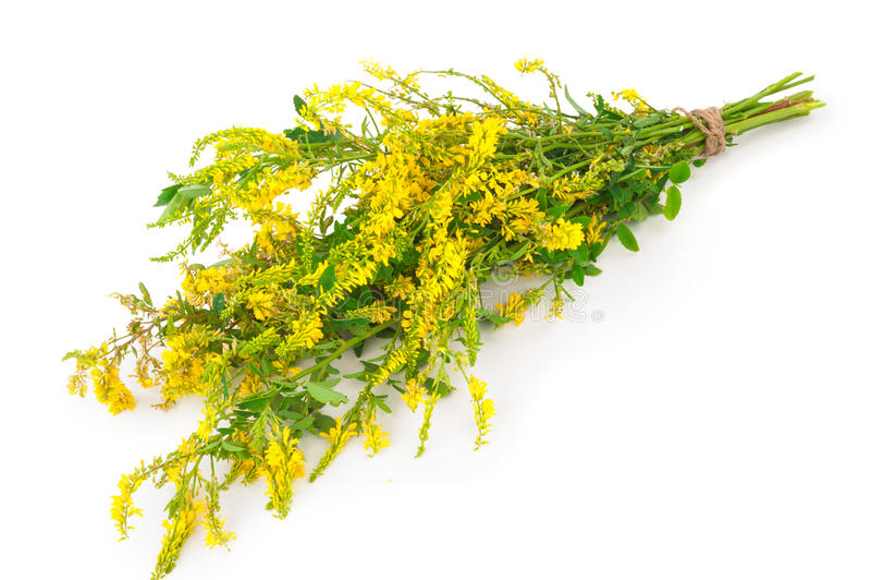 Planta medicinal: Officinalis de Melilotus (Clower doce amarelo) imagem de stock royalty free