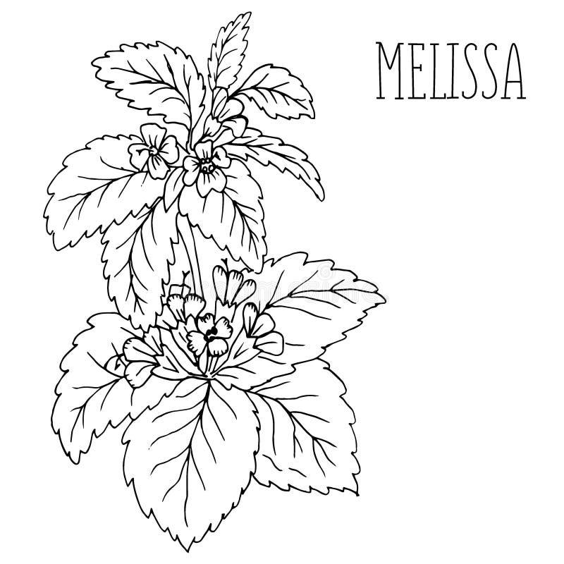A planta Melissa ilustração royalty free