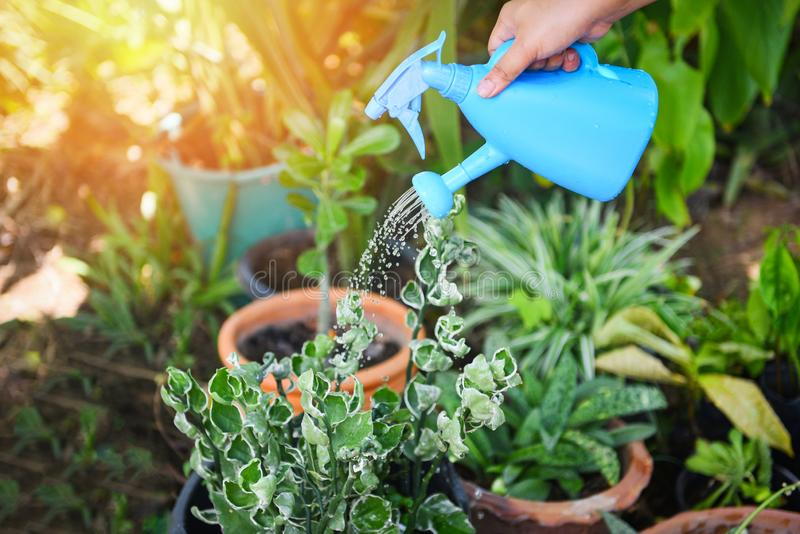 Planta molhando com a lata molhando azul colorida no potenciômetro no jardim - conceito das ferramentas de jardinagem imagens de stock royalty free
