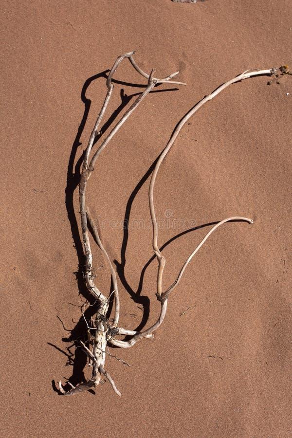 Planta muerta en la playa roja de la arena fotos de archivo