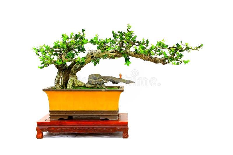 Planta não identificada dos bonsais imagens de stock royalty free