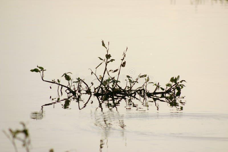 Planta na água fotografia de stock royalty free