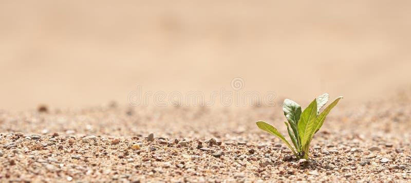 Planta na areia no deserto O conceito da sobreviv?ncia Foto com espa?o da c?pia imagens de stock