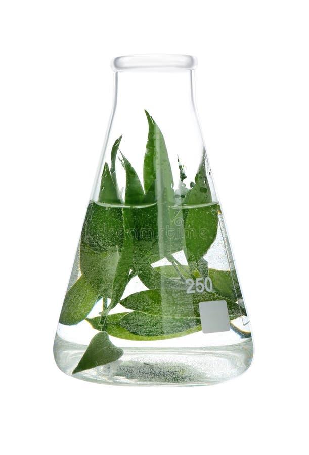 Planta na garrafa do teste, isolada no branco imagem de stock royalty free