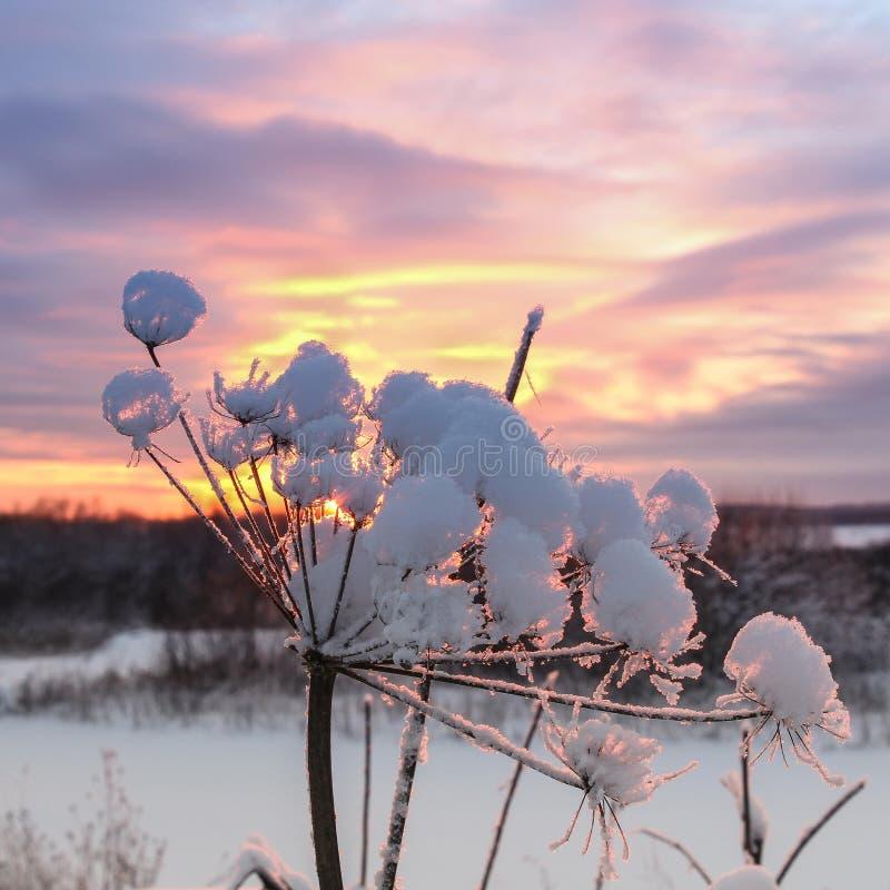 A planta na neve no sol foto de stock