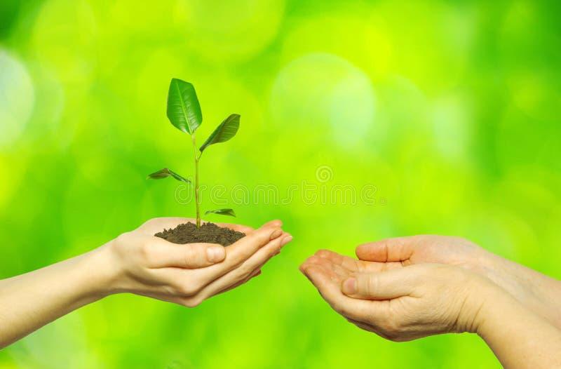 Planta nas mãos fotografia de stock royalty free