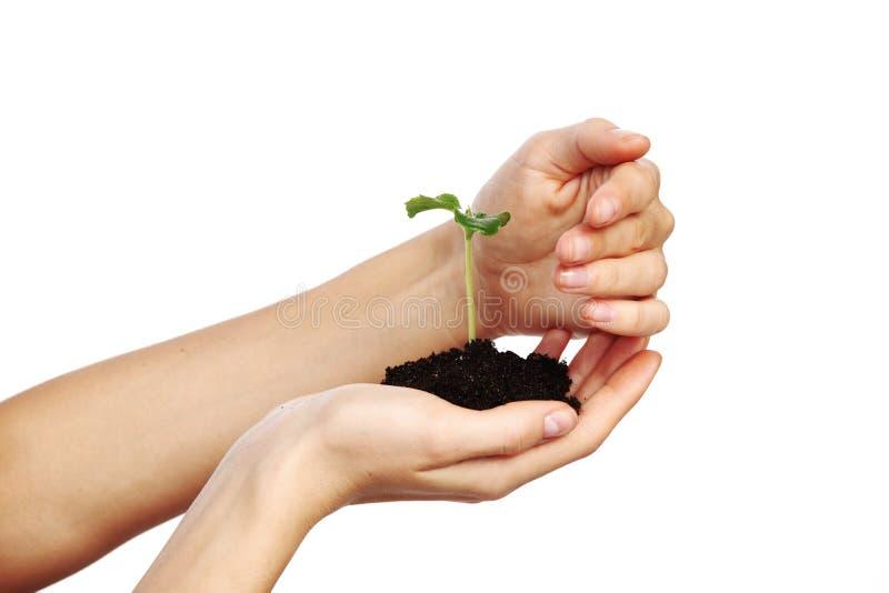 Planta nas mãos das mulheres imagem de stock royalty free