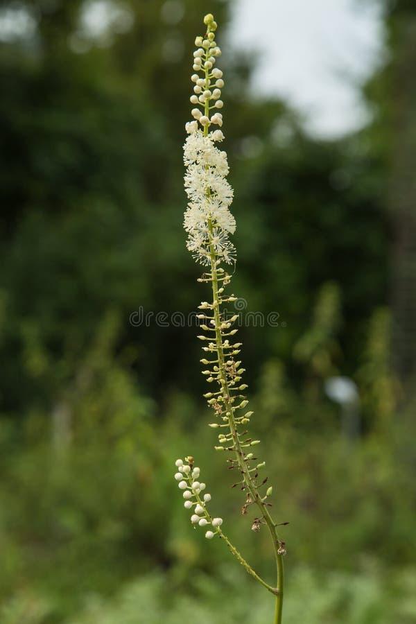 Planta negra del cohosh - racemosa del Cimicifuga fotos de archivo libres de regalías