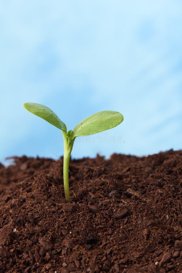 Planta no crescimento do solo fotografia de stock royalty free