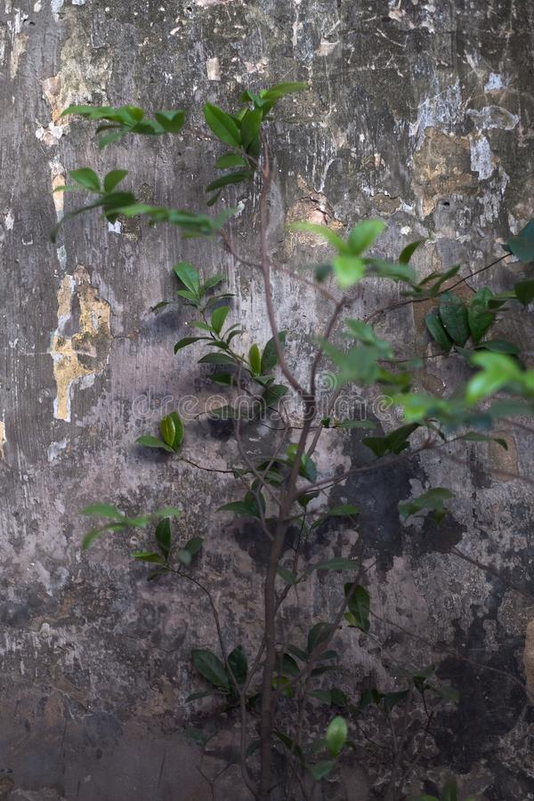 Planta no fundo da parede velha imagem de stock royalty free
