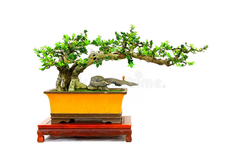 Planta no identificada de los bonsais imágenes de archivo libres de regalías