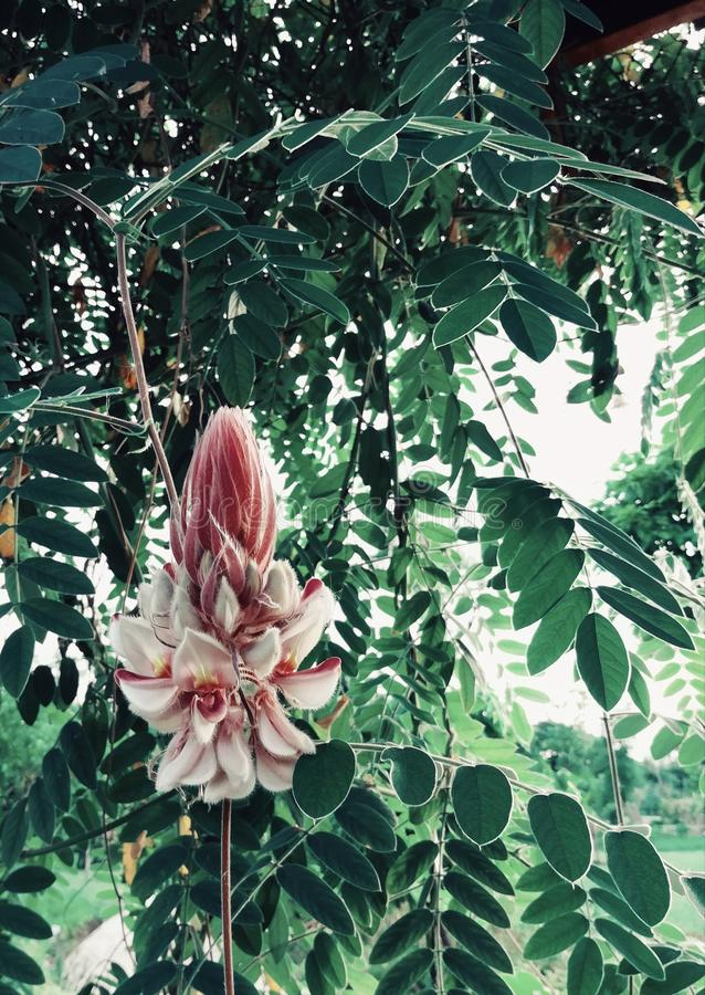 A planta, nome científico é mahidolae Burtt e Chermsirivathana de Afgekia Flor branca e roxa da cor fotos de stock royalty free
