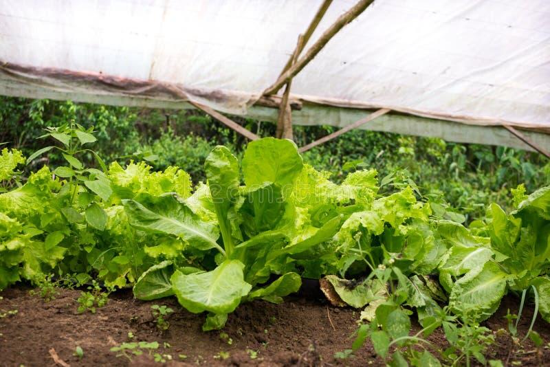 Planta nova da alface que cresce em um verde muito simples do berçário da planta fotografia de stock royalty free