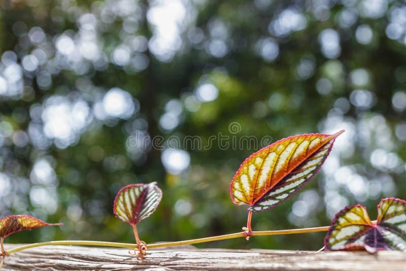 Planta nova do rastejamento, montanhista, selva tropical típica imagens de stock