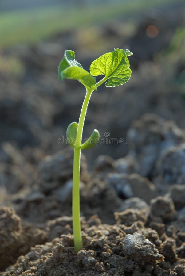Planta nova no campo foto de stock royalty free