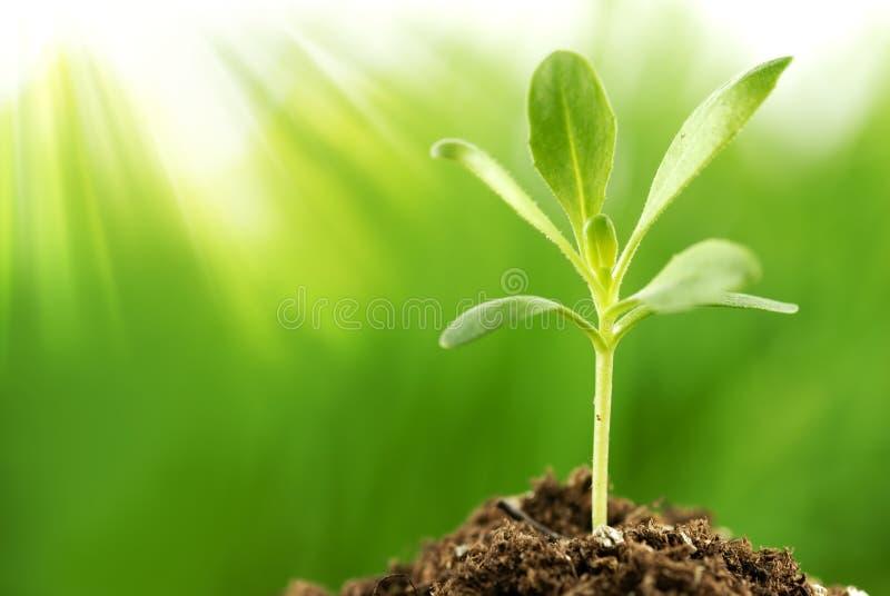 Planta nova que cresce na luz do sol fotografia de stock