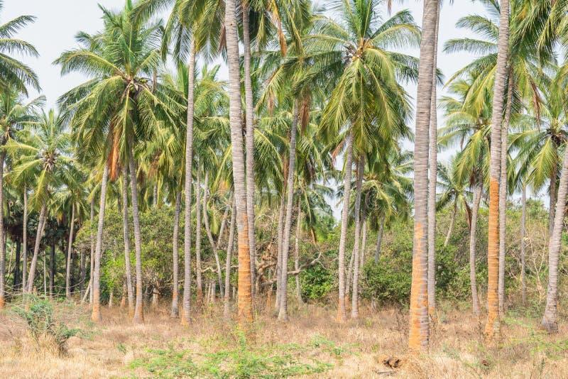 Planta??o das ?rvores de coco em uma sequ?ncia na terra do jardim formal que olha impressionante com fundo da montanha foto de stock royalty free