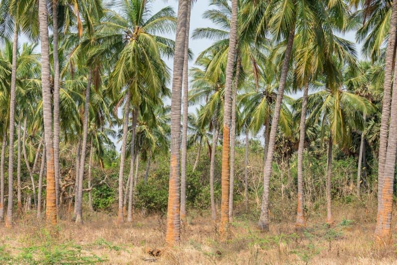 Planta??o das ?rvores de coco em uma sequ?ncia na terra do jardim formal que olha impressionante com fundo da montanha fotografia de stock
