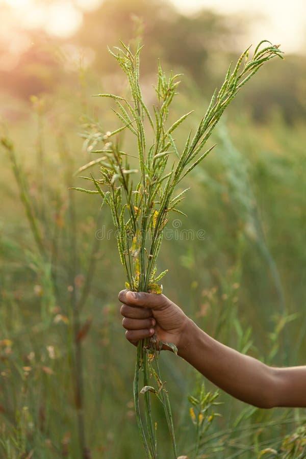 Planta orgânica da mostarda com lotes de mostrar das vagens da semente fotos de stock royalty free