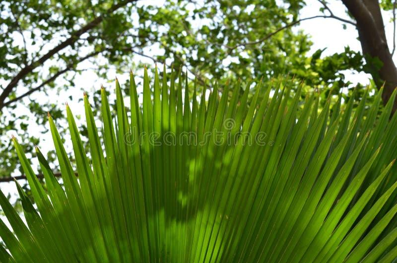 Planta ornamental de la hoja larga del jardín foto de archivo libre de regalías