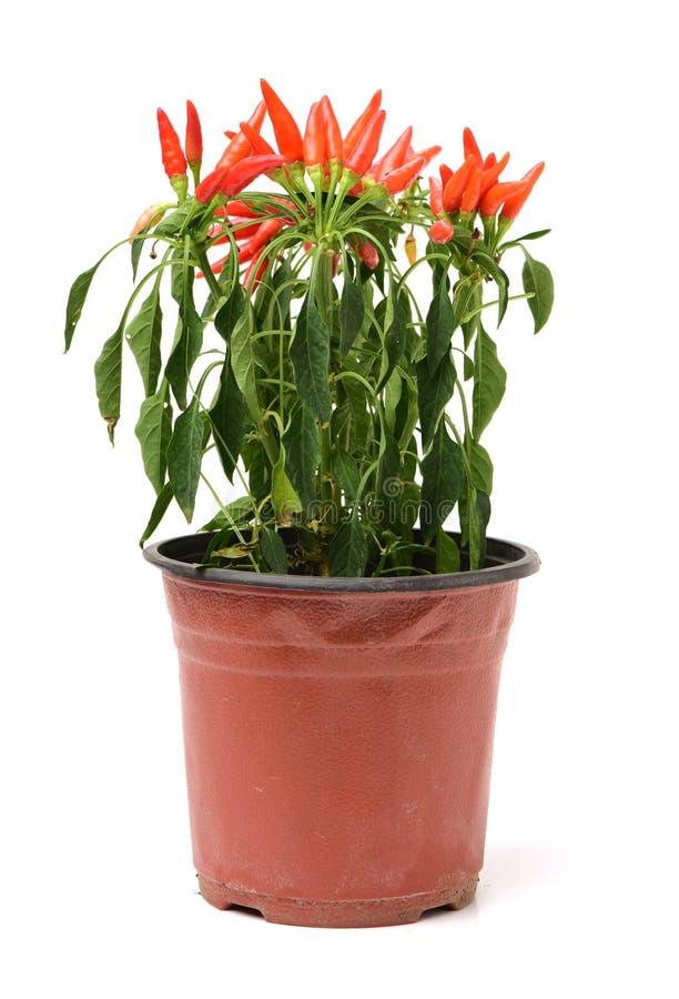 Planta ornamental de la pimienta fotografía de archivo libre de regalías
