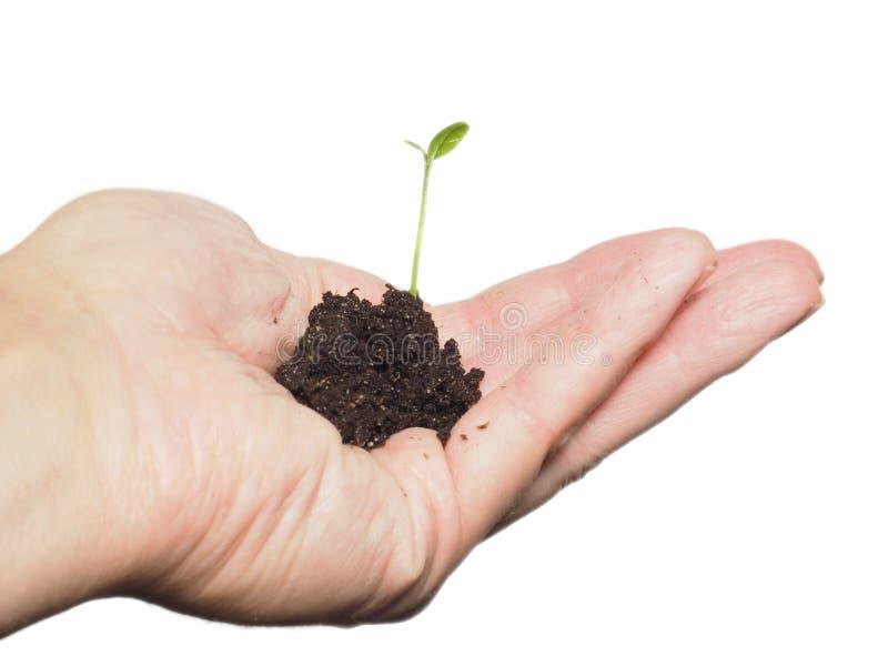 Planta ou árvore pequena que crescem em uma pilha minúscula da mão dos in person frescos do solo foto de stock