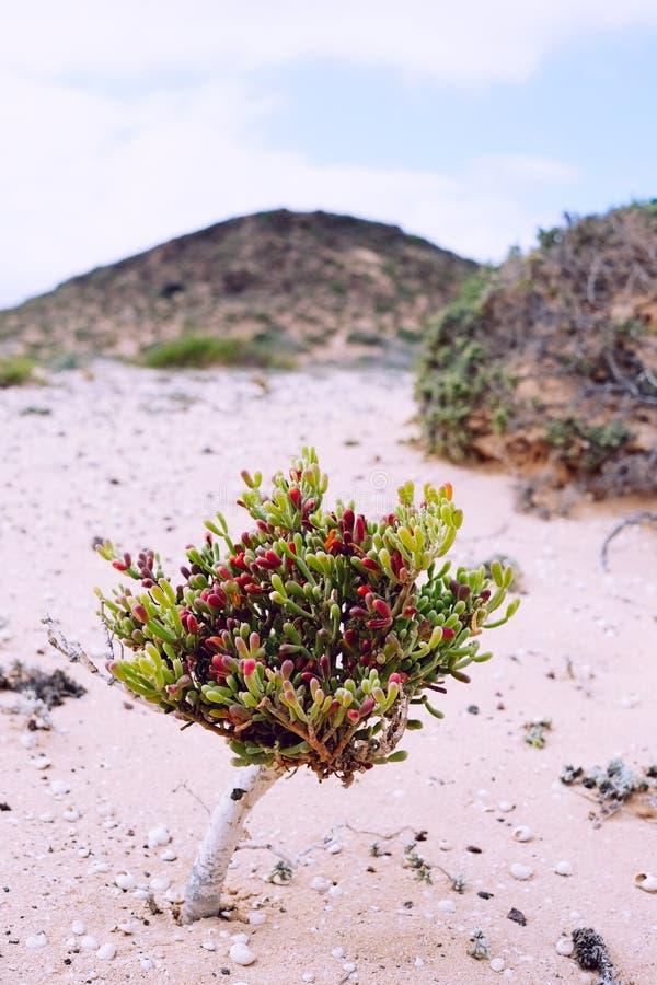planta pequena da vegetação do deserto ao lado das dunas de areia imagens de stock royalty free
