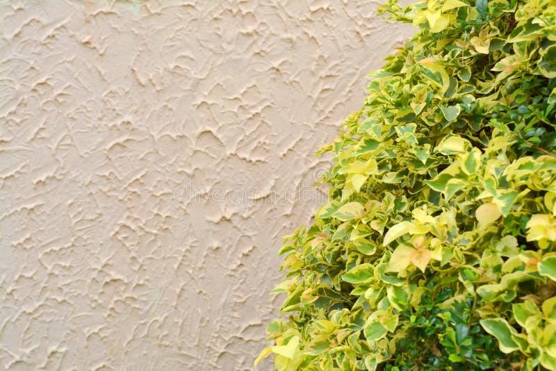 Planta pintada del arbusto de la ortiga en jardín tropical del clima imagen de archivo libre de regalías
