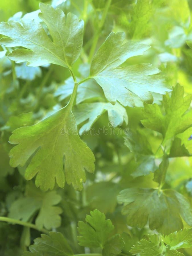 Planta plana fresca del perejil de la hoja fotografía de archivo libre de regalías