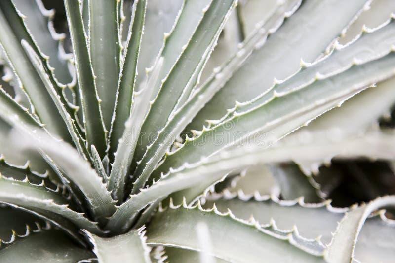 A planta pontudo do aloés fecha acima o detalhe macro fotografia de stock royalty free