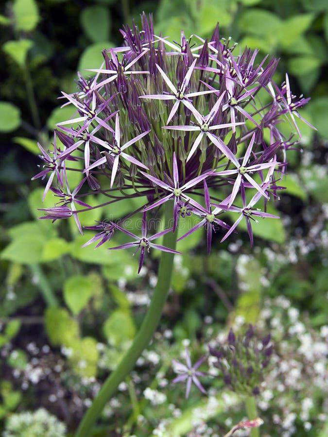 Planta pontudo roxa fotografia de stock royalty free