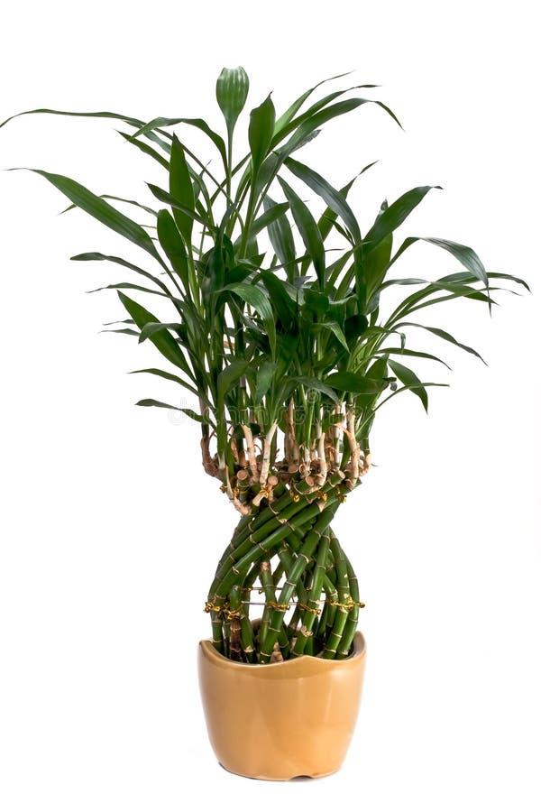 Planta potted de bambu foto de stock royalty free