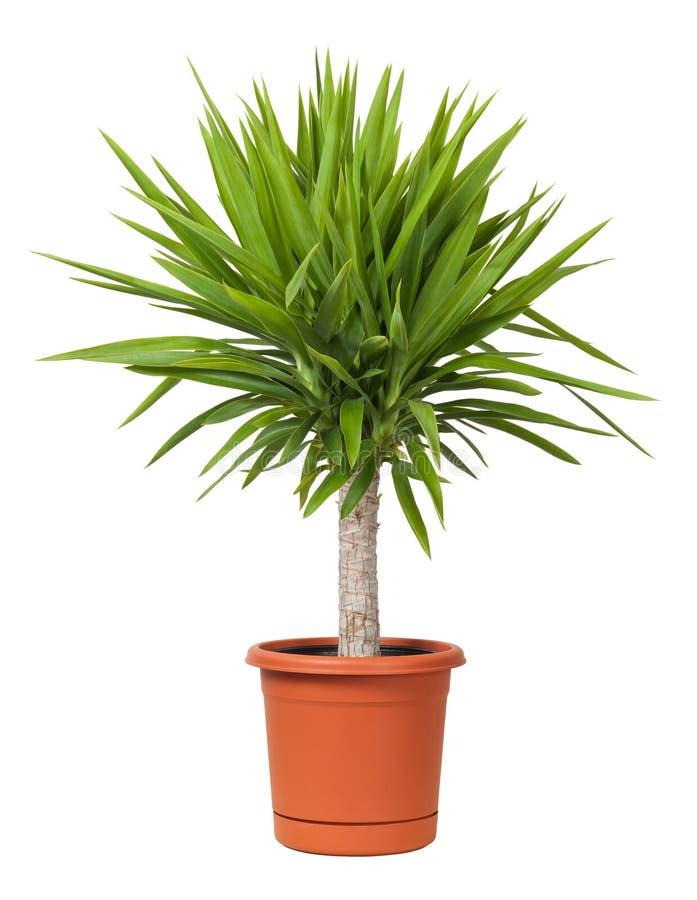 Planta Potted do Yucca foto de stock royalty free