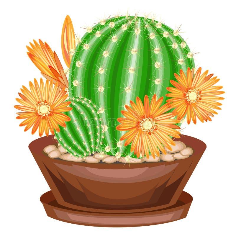 Planta Potted em um potenci?metro O cacto verde ? esf?rico com os tub?rculos cobertos com as espinhas Mammillaria, hymnocalicium  ilustração stock