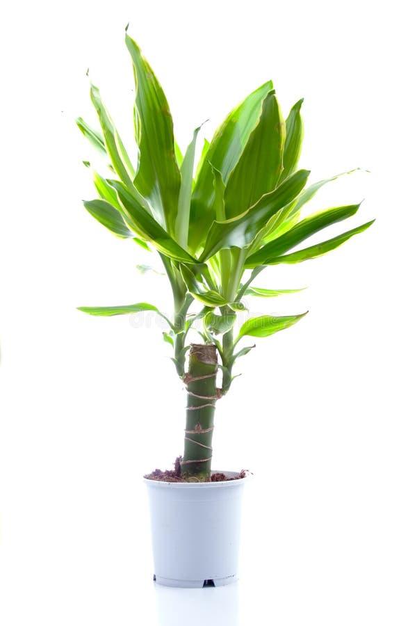 Planta Potted (yuca) fotografía de archivo libre de regalías