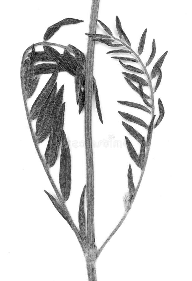 Planta presionada en blanco y negro foto de archivo