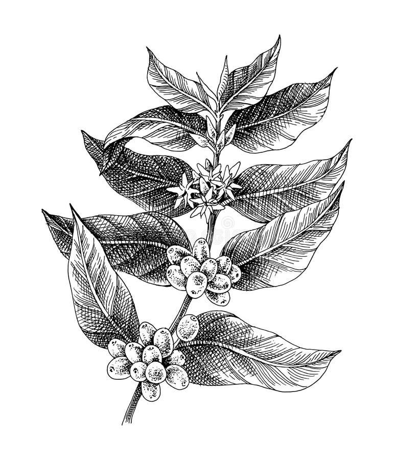 Planta preto e branco tirada mão do café ilustração royalty free