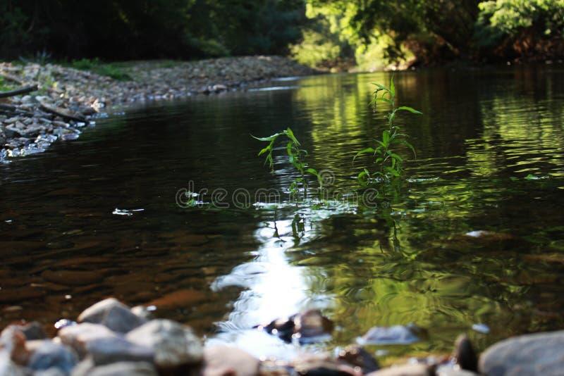 planta que crece en el medio de un río fotografía de archivo