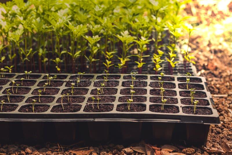 Planta que crece en el sembrador de la bandeja imágenes de archivo libres de regalías
