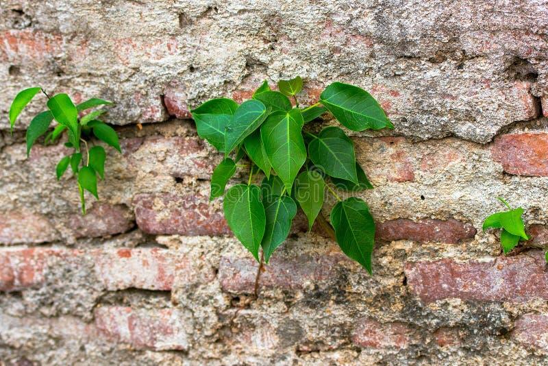 A planta que cresce acima na parede racha-se fotografia de stock