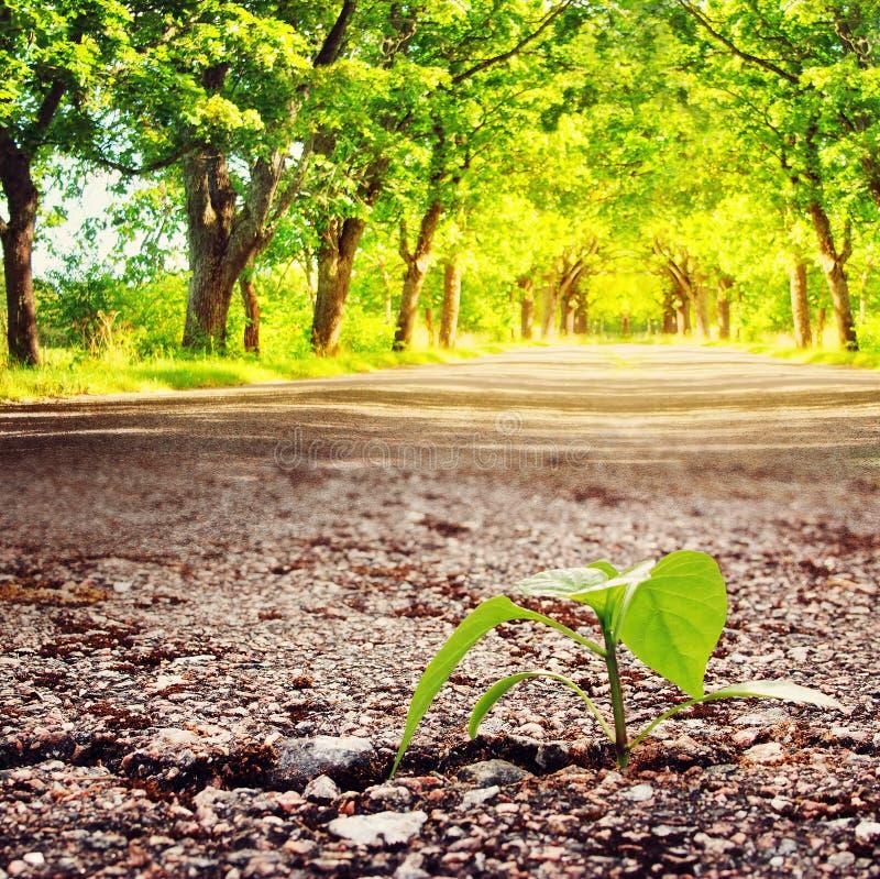 Planta que cresce da quebra no asfalto imagens de stock royalty free