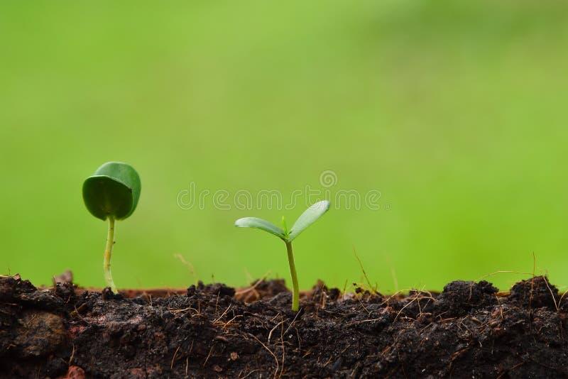 A planta que cresce da terra, conceito da plântula para o negócio cresce imagens de stock
